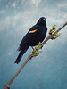 Red-winged Blackbird. I added the sky texture.
