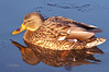 Day 8: Female Mallard Duck - Jan 8, 2013.  This female mallard was bathed in golden light just before sundown last night.