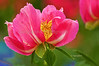 Day 143: Peony in a spring garden - May 26