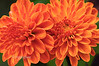Day 265: Macro Mums - September 26. These bronze/orange colored mums are less than an inch in diameter but shot closeup with a macro lens they look huge.