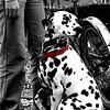 Osaka, Japan<br /> Taken at a blossom viewing party in Daikokucho Osaka.  The most beautiful Dalmatian i have ever seen.