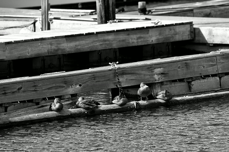 Ducks on the Docks