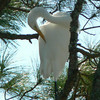 Preening Snowy Egret at St. Marks NWR<br /> Photo by George Meek