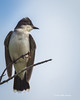 Eastern Kingbird, July 11 2013, Moira River, #3119,Canon T3i-1/500-f5.6-ISO 400,LR5