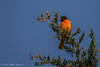 Baltimore Oriole, May 18 2012, Prince Edward Point