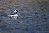 Bufflehead, April 02 2012, Bay of Quinte
