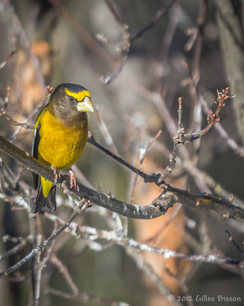 Evening Grosbeak, March 11 2012,  Algonquin Park