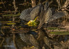 Green Heron fishing, Oct 10 2013, #7426. Canon T3i-1/1250sec-F7.1-ISO400-LR5