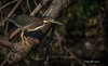 Green Heron , Moira river, Sept 11 2013, #6749-Canon 6D-100-400mm-1/1000-F8.0-ISO200-LR5