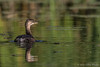 Juvenile Pied-billed Grebe, September 17 2012, Moira River