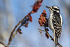 Hairy Woodpecker, January 15 2013