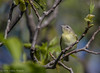 Philadelphia Vireo, May 18 2012, Prince Edward Point