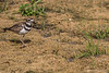 Killdeer, August 11 2012, Frink Centre