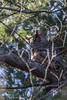 Great Horned Owl, January 15 2013, Thickson Woods, Withby