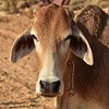 IND_0989-7x5-Cow