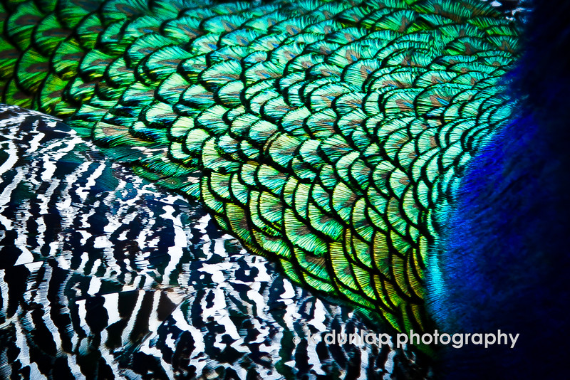 "04.19.15 = Creative Challenge Day 2 = Peacock Patterns<br /> <br /> I've been challenged by Carole King Murray to participate in the Artists Challenge. I will post something creative/artistic for 5 days, as well as nominate another creative to the challenge each day.  I would like challenge photographer, Pearl Brown.  I know she will create something wonderful.<br /> <br /> ""Art enables us to find ourselves and lose ourselves at the same time.""  Thomas Merton"