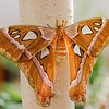 Attacus atlas - Papillon cobra - Cobra moth