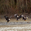 Eagles squabbling at Mosquito Lake Road Bridge