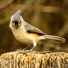 Titmouse looking shy