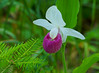Pink & White Showy Lady's-Slipper 005