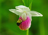 Pink & White Showy Lady's-Slipper 003