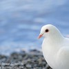 Dove at Bowness Bay 2014