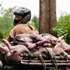 The Moped Pig Carry