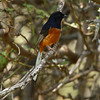 """White-rumped Shama (male) / Shama à croupion blanc (mâle)<br> """"Indian"""" subspecies<br> <i>Copsychus malabaricus indicus</i><br> Family <i>Muscicapidae</i><br> <br> Added to Life List: 25 February 2015"""