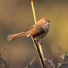 Vinous-throated Parrotbill / Paradoxornis de Webb<br><i>fulvicauda</i> subspecies<br><i>Sinosuthora webbiana fulvicauda</i><br> Family <i>Paradoxornithidae</i><br><br> Added to Life List: 20 February 2013