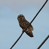 "Short-eared Owl / Hibou des marais<br> ""Hawaiian"" subspecies<br> <i>Asio flammeus sandwichensis</i><br> Family <i>Strigidae</i><br> <br> Added to Life List: 19 November 2008"
