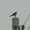 Chinese Sparrowhawk / Épervier de Horsfield<br> <i>Accipiter soloensis</i><br> Family <i>Accipitridae</i><br> <br> Added to Life List: 10 May 2014