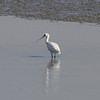 Eurasian Spoonbill / Spatule blanchePlatalea leucorodia Family Threskiornithidae Added to Life List: 13 April 2013