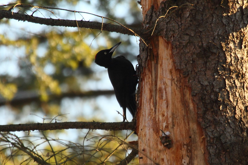 Black Woodpecker (female) / Pic noir (femelle)<br> Nominate subspecies<br> <i>Dryocopus martius martius</i><br> Family <i>Picidae</i><br> <br> Added to Life List: 20 December 2014