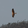 Eastern Marsh-harrier / Busard d'OrientCircus spilonotus Family Accipitridae Added to Life List: 5 January 2014