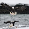 American Bald eagle and salmon in the Chilkat Valley, Haines, Alaska