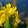 Yellow Iris flowers in spring
