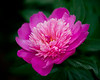 Peony in Full Bloom by CornflakeGirl