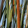 June 12, 2014: Spent the morning at the back bay in Newport. These cattails remind me of my childhood.