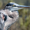 August 11, 2014: Spent my birthday hiking the Huntington Beach Wetlands with Mike. What a beautiful day! This is a blue heron that posed for us.