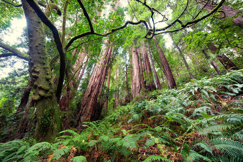 Ferns and Redwoods, Marin County, CA