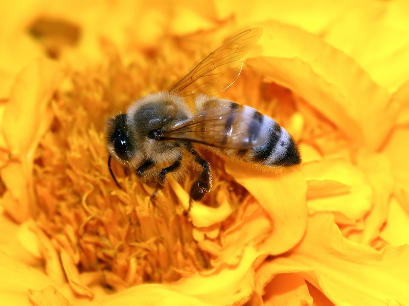 Bee in a Field of Yellow-Orange