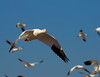 Snow Goose Subject Separation