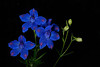 Impossible Blue Delphinium