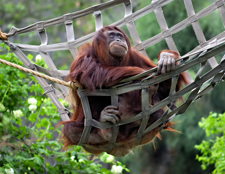 An Orang Prior to  a Harangue?