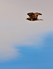 Rough-legged Hawk Flying the Carr Track