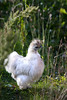 """Mr. Tuft""<br /> Rooster, Iceland<br /> August 2012"