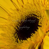 Day 61 Let the sunshine in! Yellow Daisy