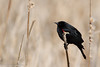 16/52-2: Red-winged Blackbird