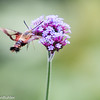 33/52-1: Hummingbird Moth