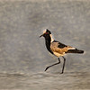 Black-Wing Lapwing Aglow